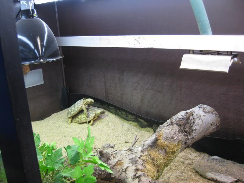 malacocherus tornieri:première naissance de cette année Afbeelding197_zps679ca5fc