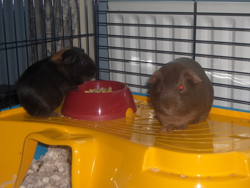 New loving home wanted for two Guinea Pigs HPIM7228