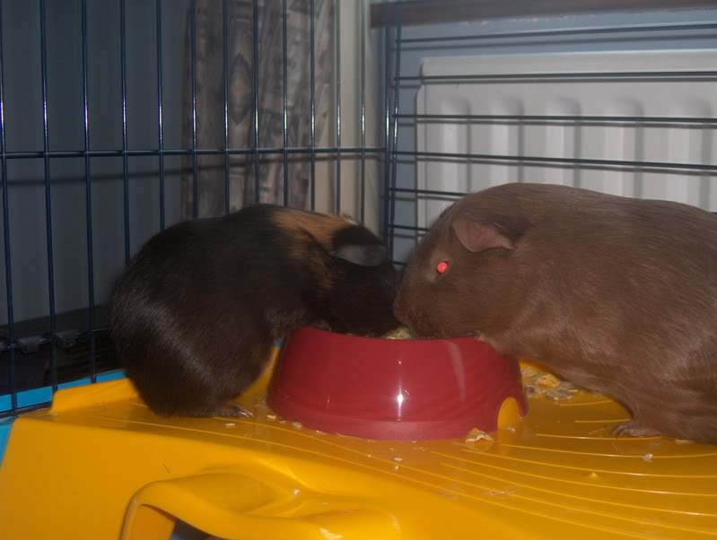 New loving home wanted for two Guinea Pigs HPIM7232