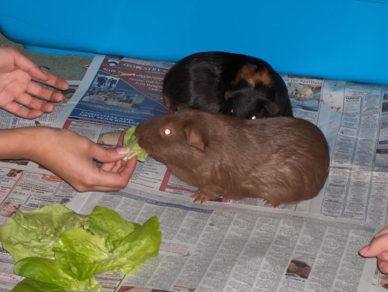 New loving home wanted for two Guinea Pigs HPIM8116
