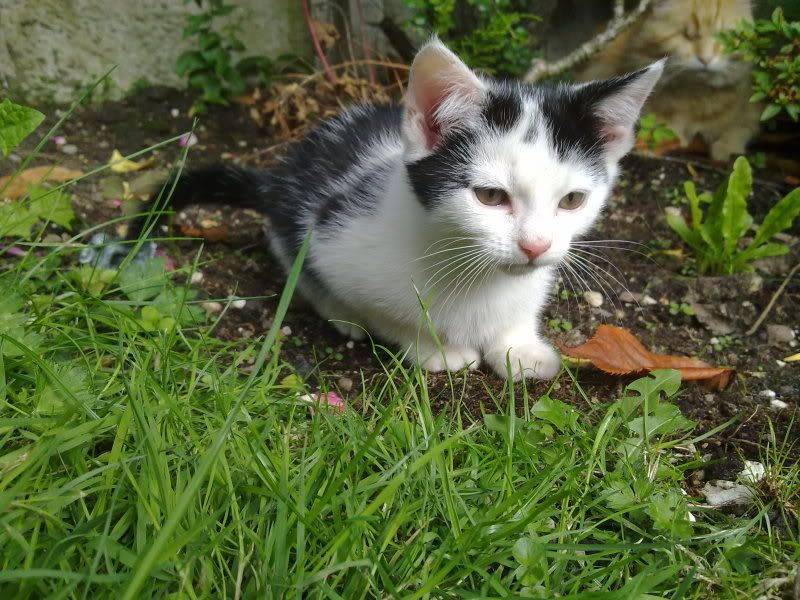 3 12wk old kittens currently in foster care for Paws n Claws Rescue are looking for their forever homes 200720112769