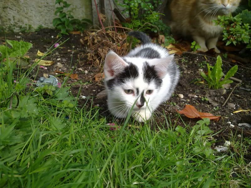 3 12wk old kittens currently in foster care for Paws n Claws Rescue are looking for their forever homes 200720112770