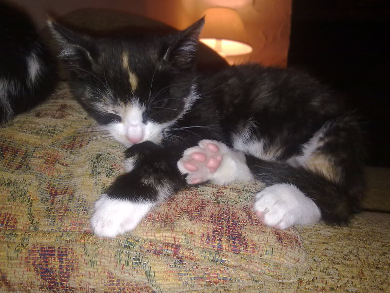 3 12wk old kittens currently in foster care for Paws n Claws Rescue are looking for their forever homes 200720112791