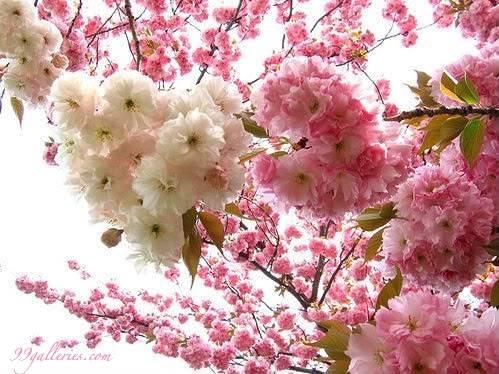 Trees (2) Floweringtreepinkalmond
