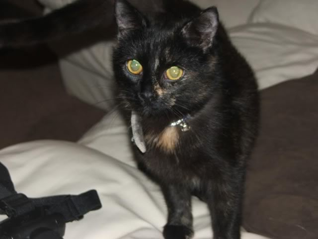 Serenity,young  Tortie girl needing forever home, Maidstone, kent Catsandothers007-1