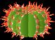 Flowering Cacti Cacti5