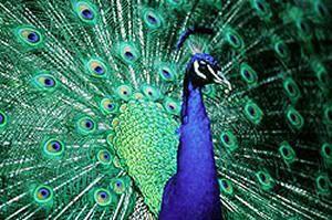 Animals in Dreams Peacoc1