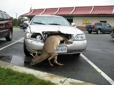 Funny pics, videos and jokes - Page 4 Deercar