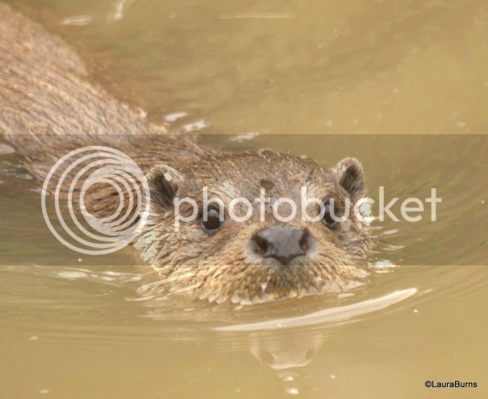 Otters and others D1F75CC8-68A5-46AB-AC08-E8B1F9DE0BB5_zps5hw4js2h