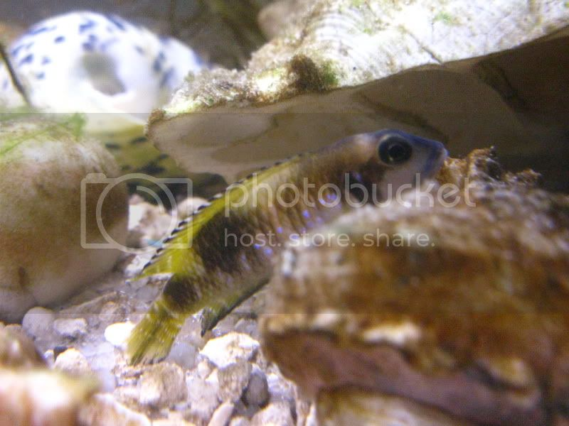 Lamprologus' speciosus IMG_0942