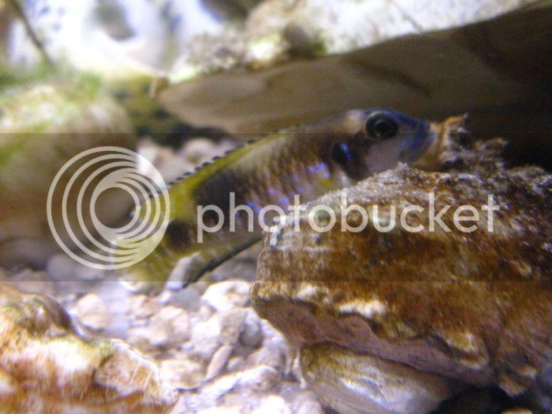 Lamprologus' speciosus IMG_0947