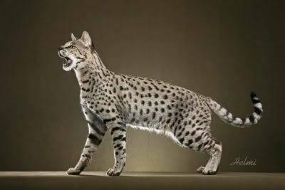 Dreadpath's Kitties!!  Warrior-cat-1