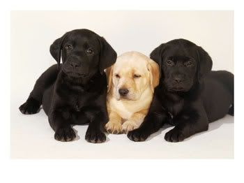 Animals LABRADORS