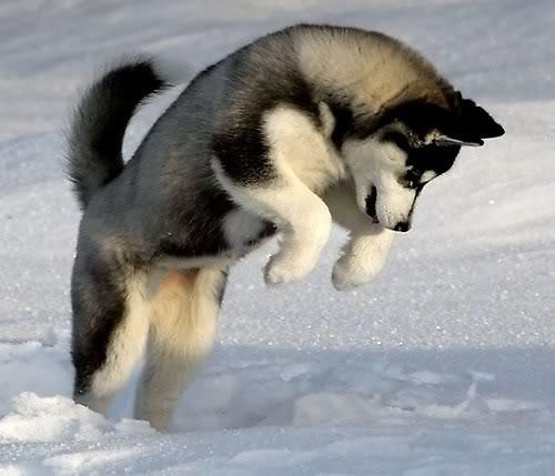 Wuff Like A Dog(Stray dogs)Semlit Accepting Husky