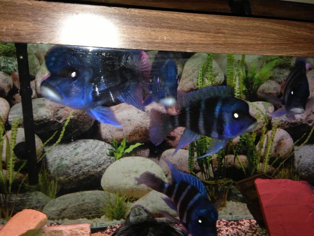 FS: small size Mpimbwe blue frontosa Image-2