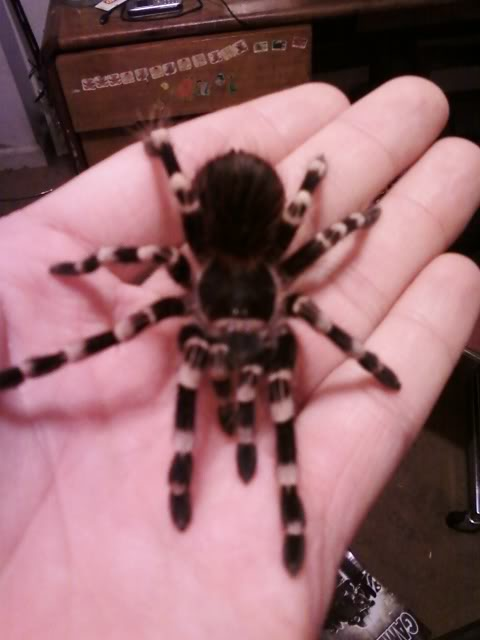 Your Tarantula and Spider pix.... - Page 3 Ageni