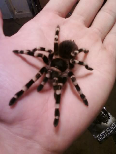 Your Tarantula and Spider pix.... - Page 3 Ageni1