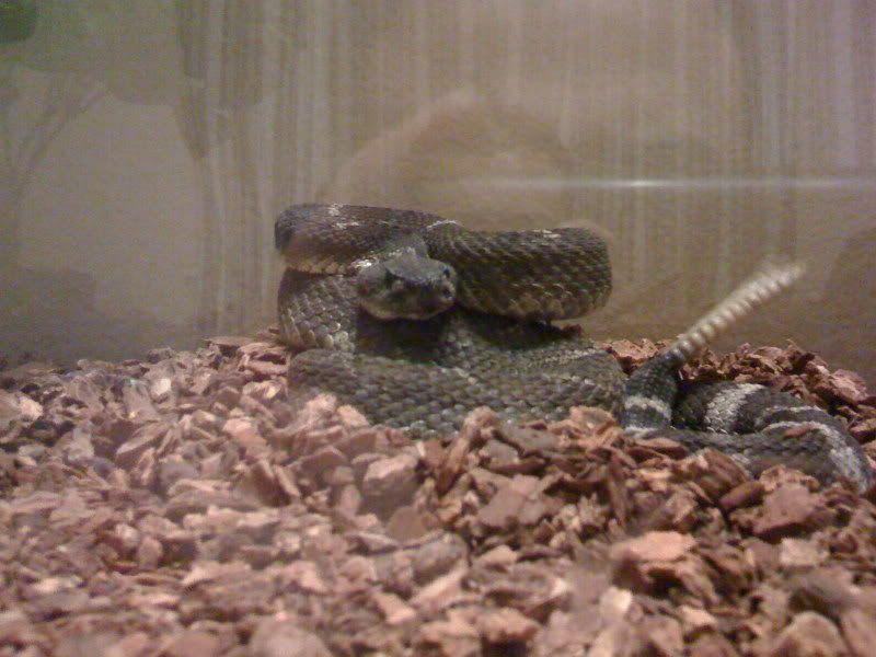 new rattlesnake!!!!! IMG_0395