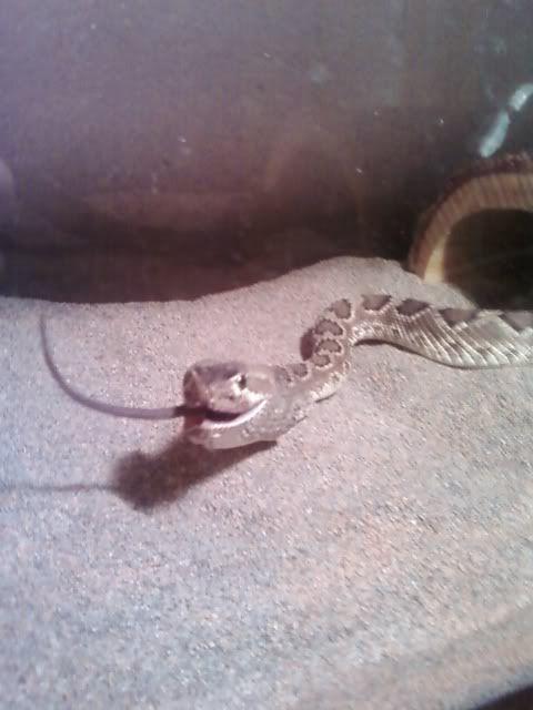 my mojave rattlesnake Mojaverattlesnakeeating2