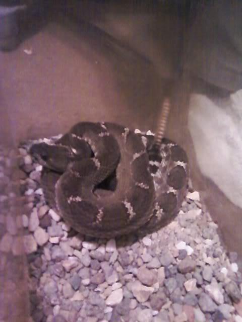 new rattlesnake!!!!! Ramonsnorthernpacific