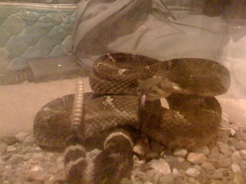 new rattlesnake!!!!! Ramonsnorthernpacificrattlesnakepos
