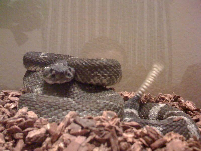new rattlesnake!!!!! Reptiles001