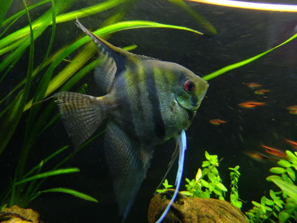 ID for wild-type angelfish DSCF5478