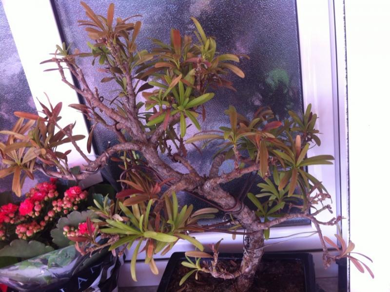 Podocarpus enfermo, me ayudais Fr_45_size880_zpsc5df3bce