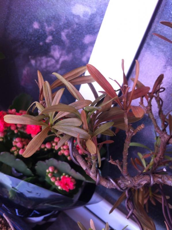Podocarpus enfermo, me ayudais Fr_46_size880_zps633fae89