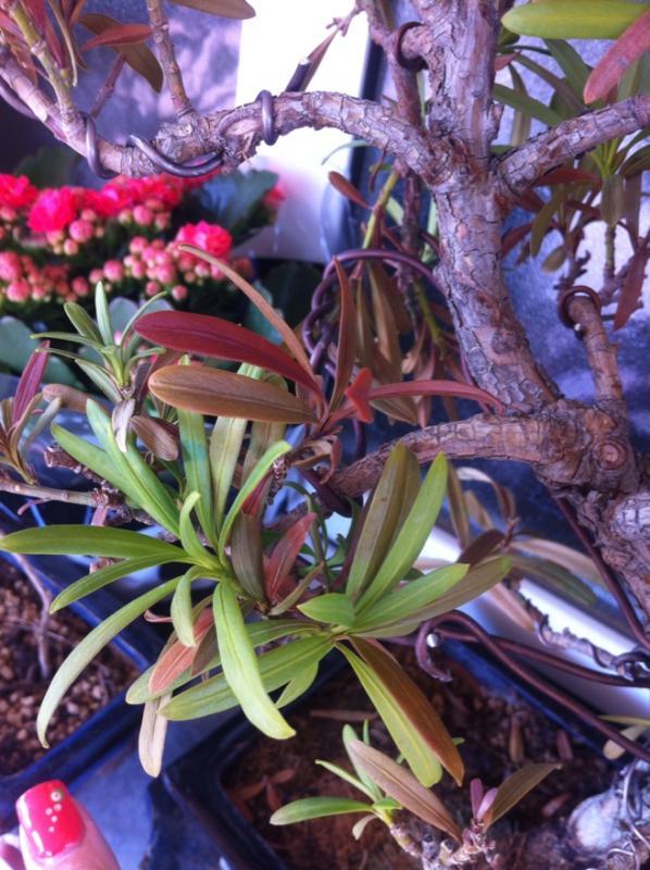 Podocarpus enfermo, me ayudais Fr_47_size880_zpsdd383bc2