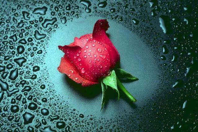 love rose flower Roseyyy