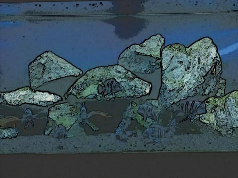"""F1 Frontosa """"Zaire Blue"""" Kapampa - Page 4 248250479_photobucket_135371_"""
