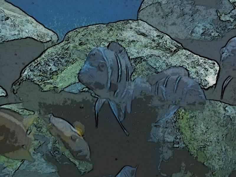 """F1 Frontosa """"Zaire Blue"""" Kapampa - Page 4 248250479_photobucket_135372_"""