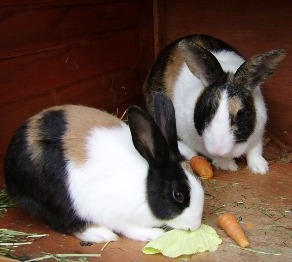 Forum Members Rabbits - Page 2 AbunTriApplejackandLizzie2