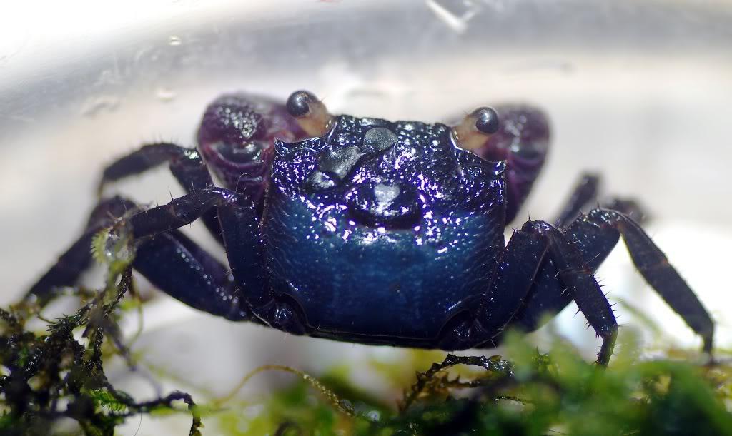 Geosersama sp blue Geosesarmabogorensis1