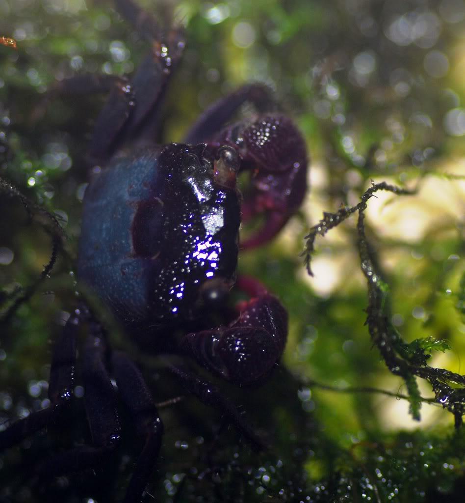 Geosersama sp blue Geosesarmabogorensis2