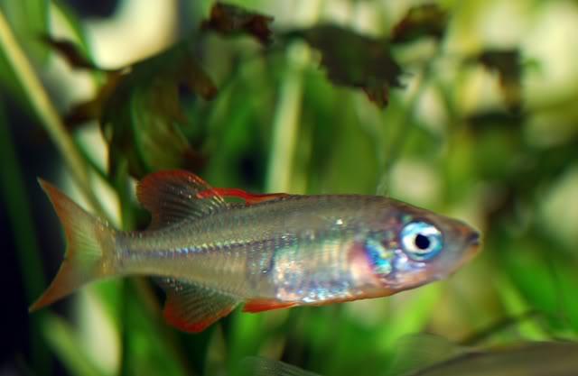 Rainbow Fish Sularainbow