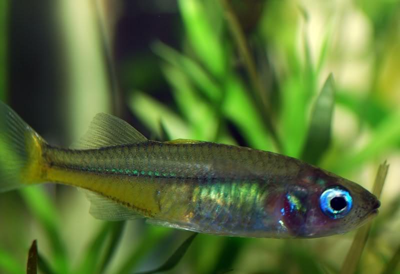 Rainbow Fish SularainbowF2