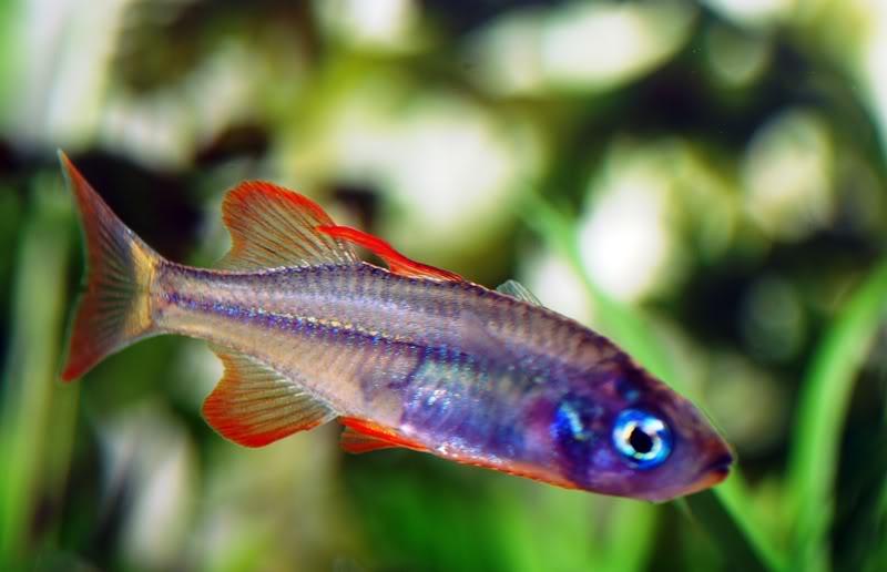 Rainbow Fish SularainbowM
