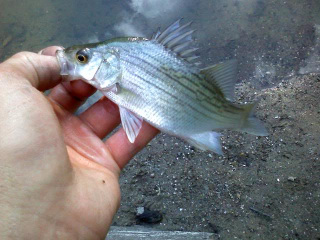 A few more smallies, and whitebass :D 0706091914