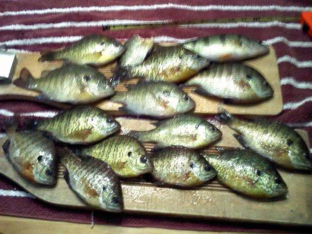 Bluegills and a perch before the mud 0204101910
