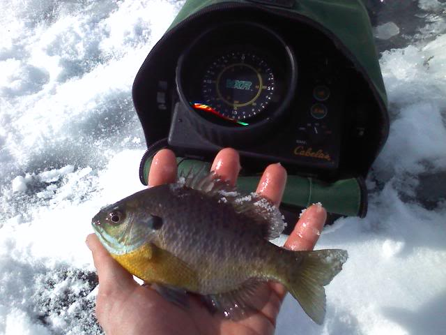 Pond ice fishing, gills baby bass in the weeds 0207101419