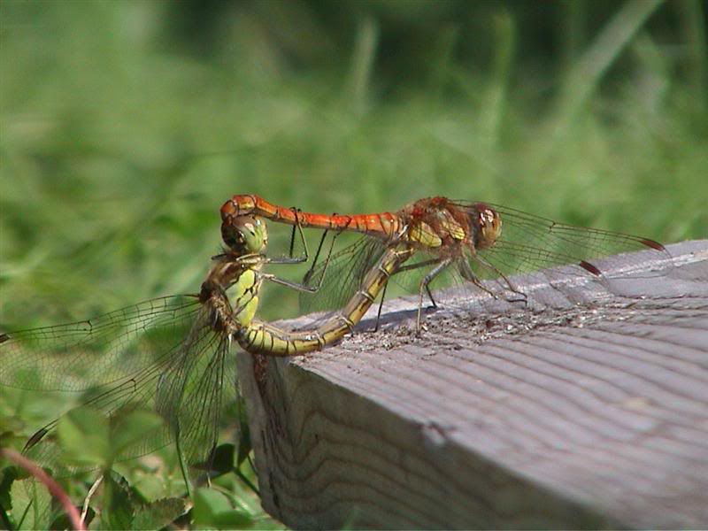 Animals in the garden Dragonflies