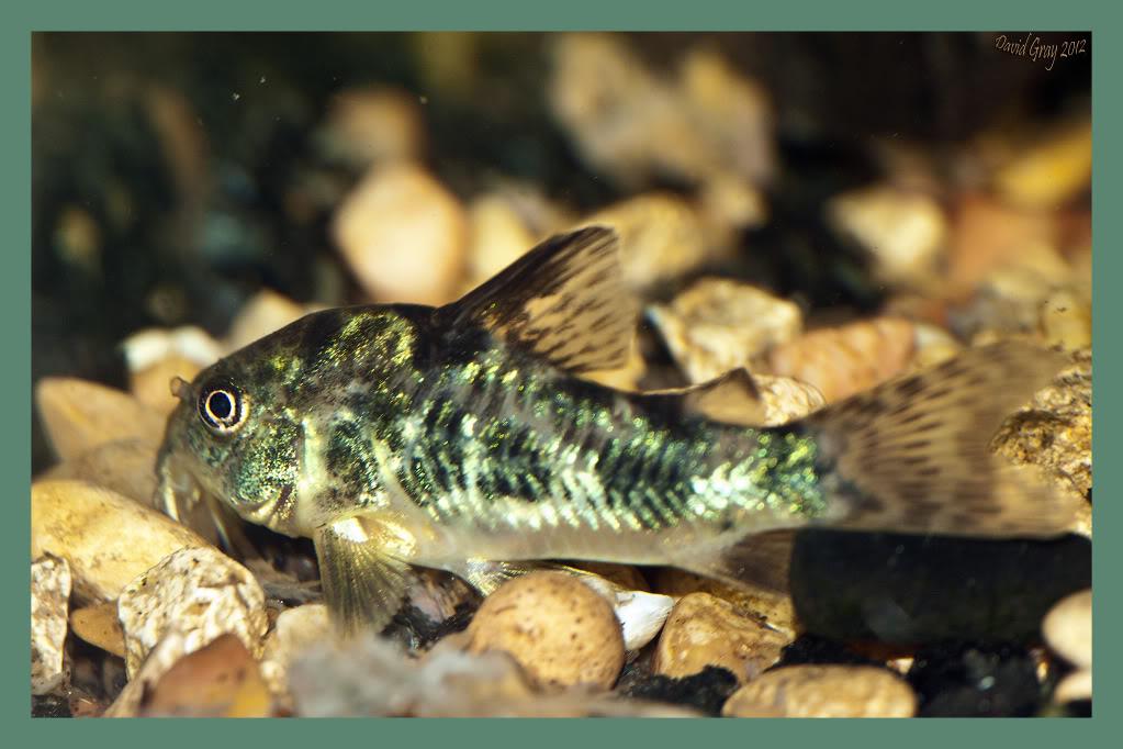 Shrimpand fish in my 20 gallon CoryCat2012
