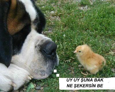 Hayvanların Komik Halleri Dogchicken