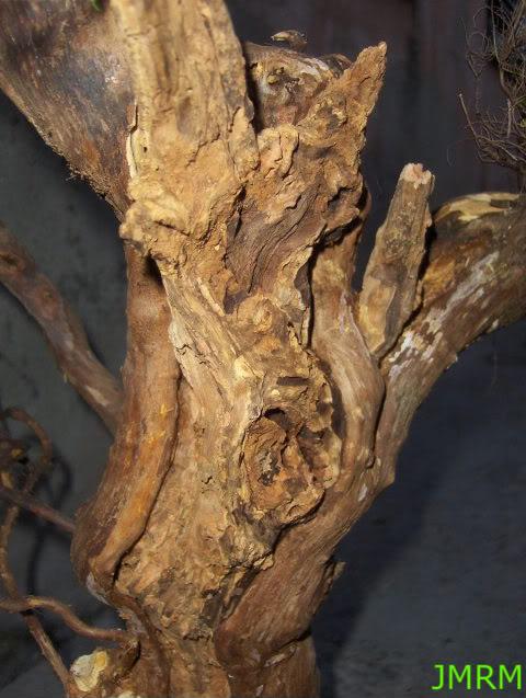 Erica arborea yamadori HPIM2981