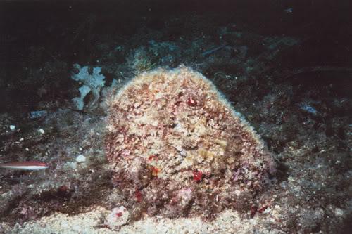 Pinna nobilis Pinnanobilis6