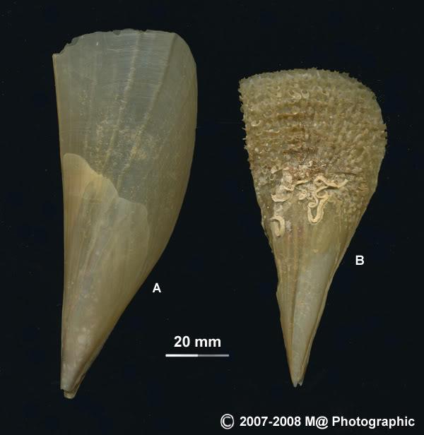 Pinna nobilis Pinnatwoform