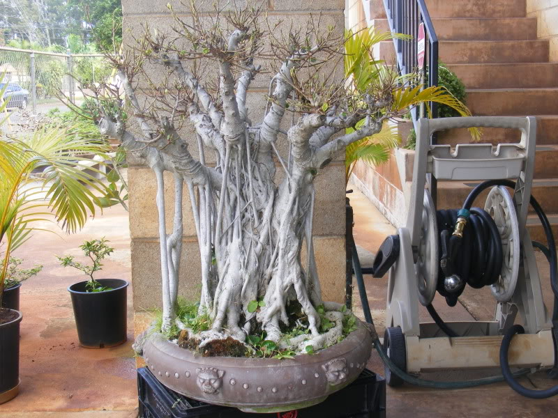 Suggestions for old, large ficus  (with pics) GoliathFicus005
