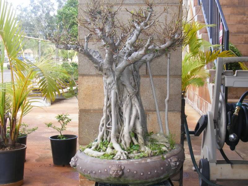 Suggestions for old, large ficus  (with pics) GoliathFicus006
